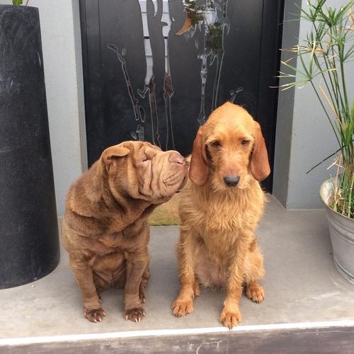 Lop et Yoko : des chiens inséparables